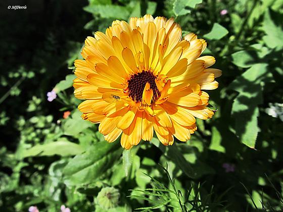 55 pot marigold
