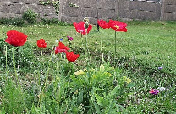 56 poppies