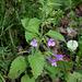 Calamintha grandiflora-002
