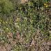 Hieracium pilosella- Piloselle