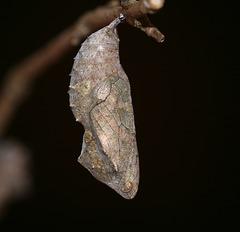 Red Admiral (Vanessa atalanta) butterfly pupa