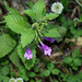 Calamintha grandiflora-003