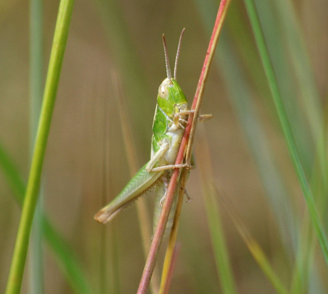 Do you hear the grasshopper that is at your feet?