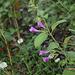 Calamintha grandiflora-004