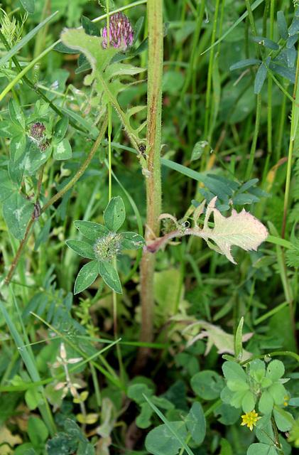 Crepis vesicaria subsp.taraxacifolia- Barkhausie à feuilles de Pissenlit
