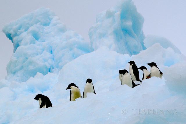 Adelie Penguins on a Bergy Bit