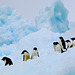 Adelie Penguins on a Bergy Bit