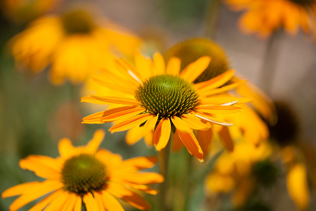 Green-Eyed Coneflower