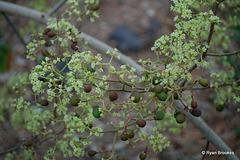 20090215-0621 Ziziphus rugosa Lam.