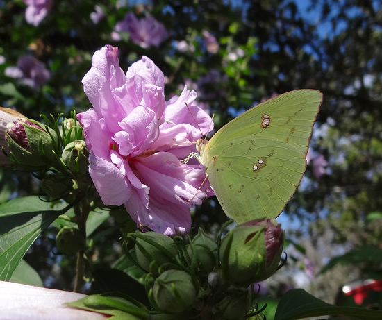 Clouded Sulphur butterfly(Colias philodice) on 'Ardens' Rose of Sharron