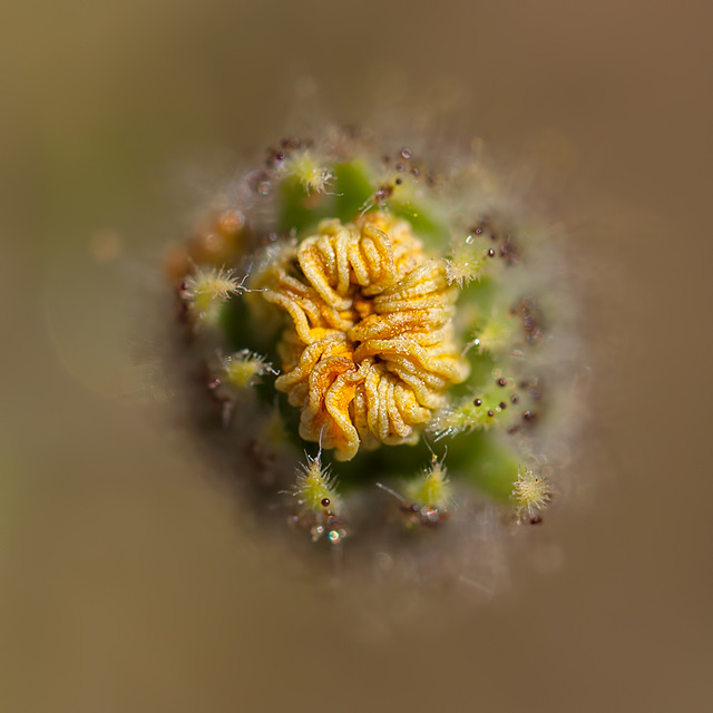 Bokeh Thursday: T is For Tarweed Bud