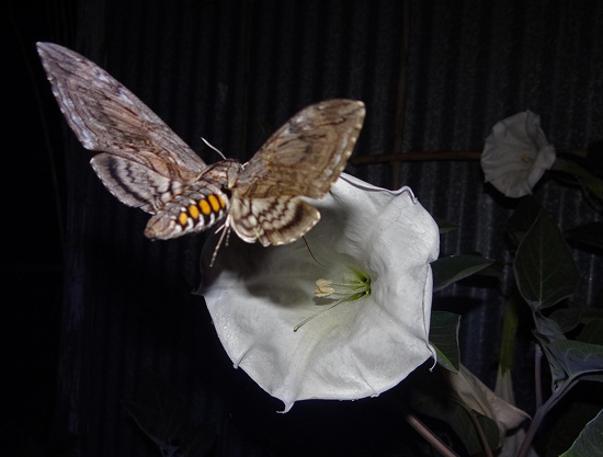 Privet Hawk Moth with 6inch wingspan and Moonflower