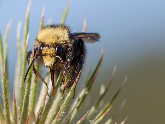 Bokeh Thursday: T is For Bumblebee Tongue