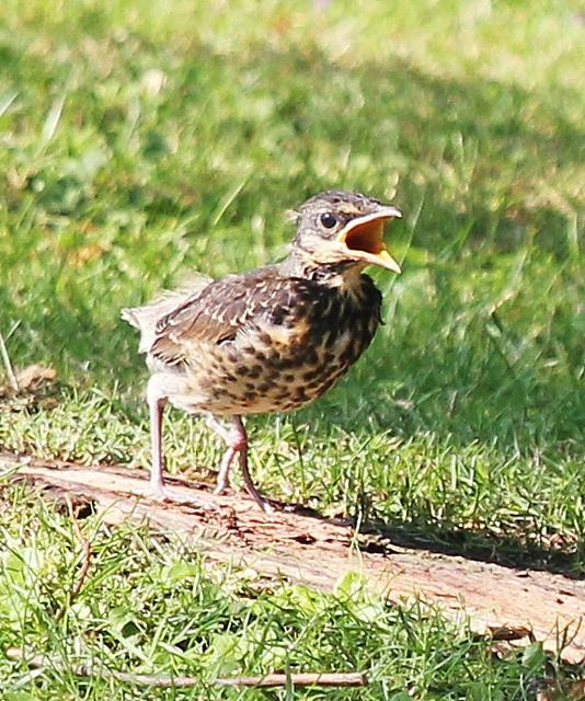 Drossel-Jungvogel