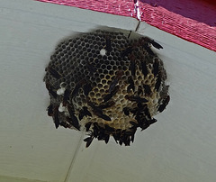 Wood Wasp nest under the east gable