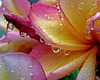plumeria in the rain