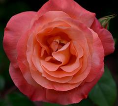 Macro d'une belle rose...