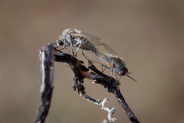 Love is in the Air: Mating Fuzzy Flies