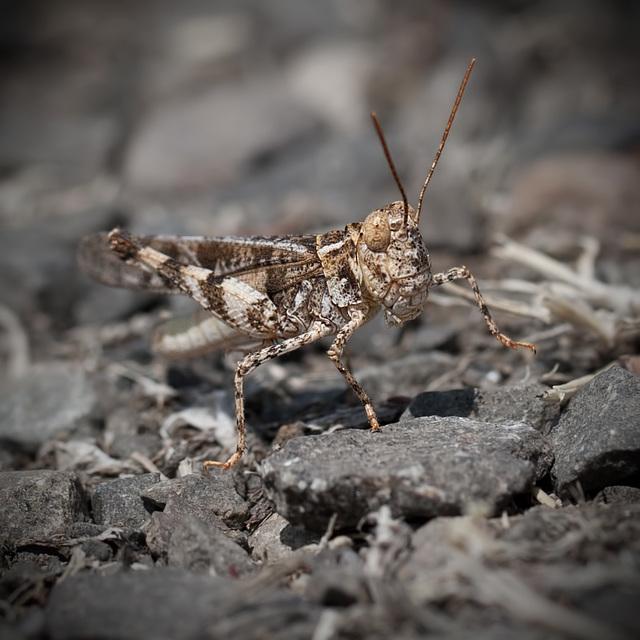 Awesome Short-Horned Grasshopper Doing the Hokey-Pokey