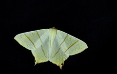 Swallow-tailed Moth
