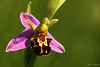 Bee Orchid @ HCP