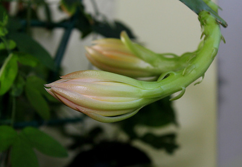 Epicactus hybride 'King Midas ' (3)