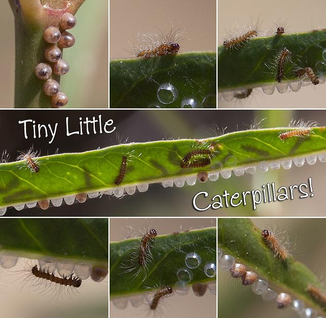 Tiny Little Clio Tiger Moth Caterpillars