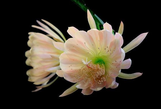 Epicactus hybride