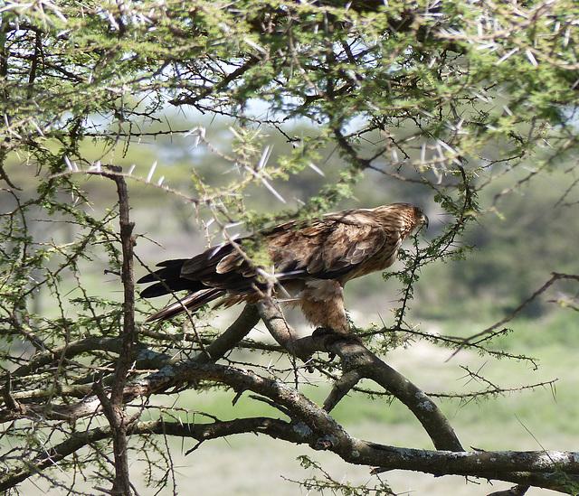 Aigle ravisseur  (Aquila rapax)