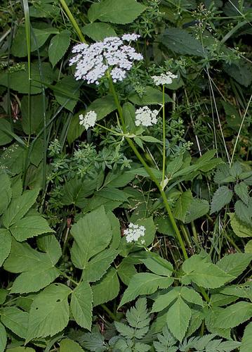 Aegopodium podagraria- Herbe aux goutteux- Podagraire (2)