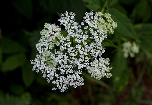 Aegopodium podagraria- Herbe aux goutteux- Podagraire (3)