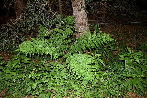 Dryopteris dilatata (2)