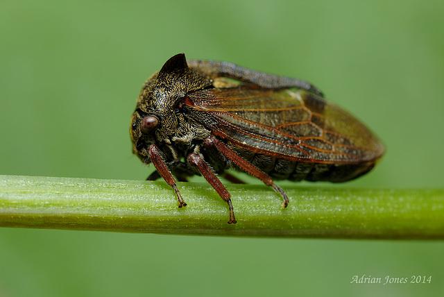 Centrotus cornutus (Treehopper)