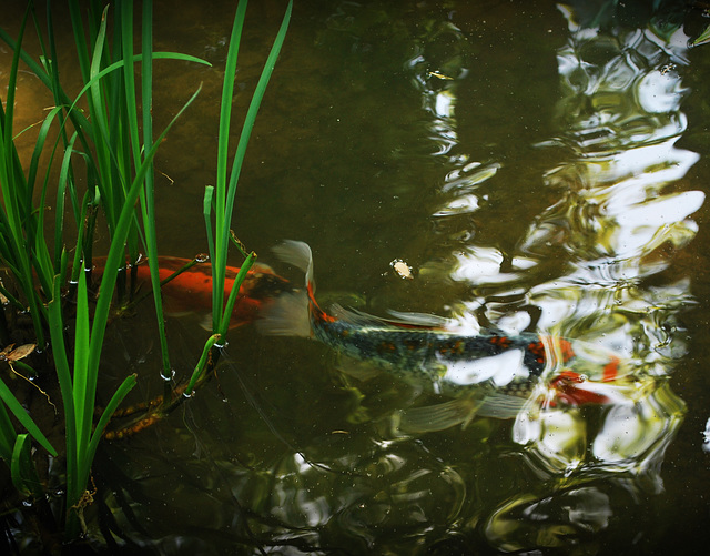 A Koi Pond at Winterthur Gardens