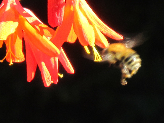 Close up of the bee having a drink of nectar