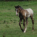 A young foal in a field on the marshes. (1 of 1)