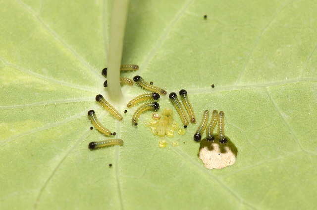 Large White (Pieris brassicae) caterpillars