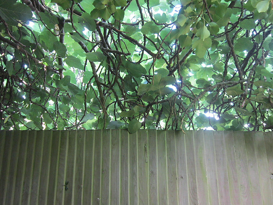 Fig tree overlooking the fence