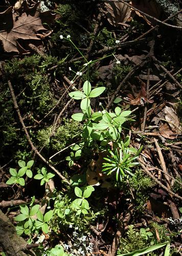 Galium rotundifolium -Gaillet à feuilles rondes