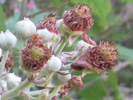 The start of blackberries