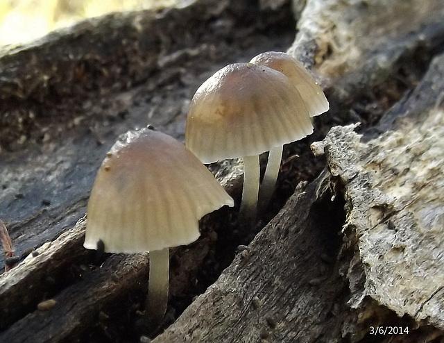Mycena species