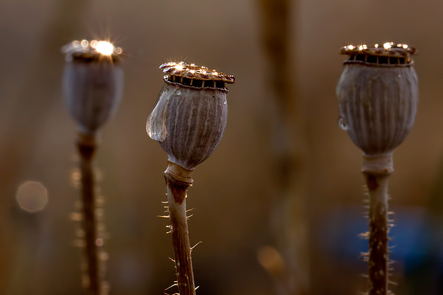 Gleaming Poppy Seed Heads