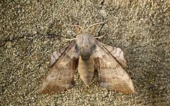 Poplar Hawk-moth Female