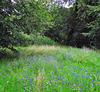 Woodland wild-flowers.