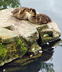 Ducklings (Mallard).