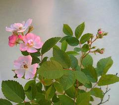 roselline di macchia
