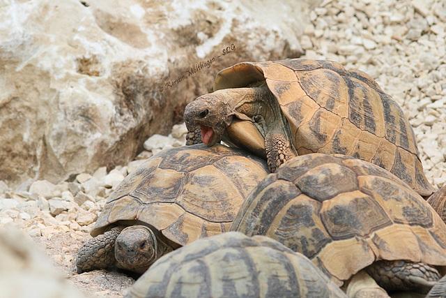 Griechische Landschildkröten (Wilhelma)