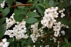 Se la blanka siringo ree floras (Wenn der weiße Flieder wieder blüht)