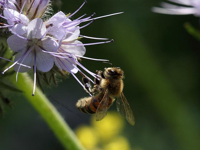 Die Biene und die Blüte (Wilhelma)
