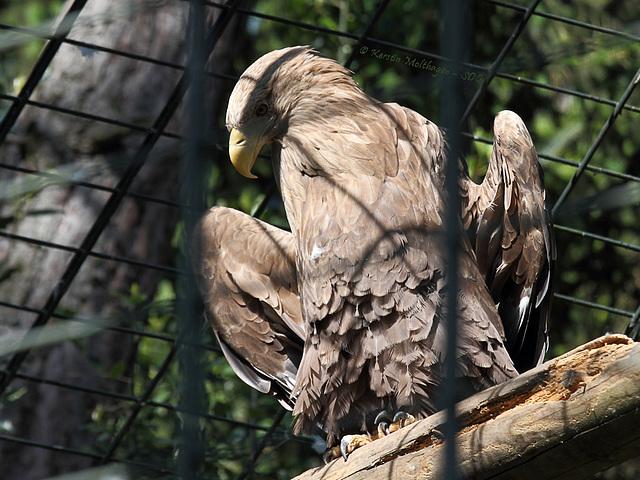 Sonnenbadender Seeadler (Wilhelma)